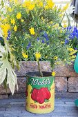 Yellow-flowering broom in vintage tin can