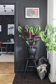 House plant in black pot on stool against black wall