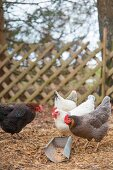 Free-range hens of various colours in front of lattice fence