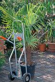 Trachycarpus fortunei (hemp palm) with sack truck