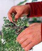 Oregano cuttings propagation
