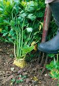 Harvest of Apium graveolens var. Rapaceum (celery)