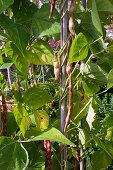 Phaseolus vulgaris 'Borlotti' (Pole Bean)