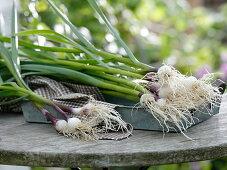 Freshly harvested and washed garlic (Allium sativum)