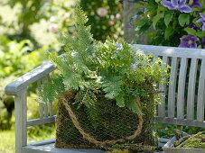 Moss bag with polystichum setiferum (shield fern), geranium