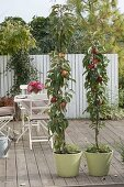 Planting column apples on a terrace in tubs