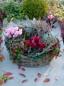 Basket ring as a planted wreath with Cyclamen, Gaultheria