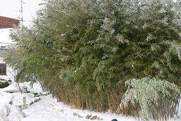 Sinarundinaria (umbrella bamboo) in the snow-covered garden