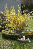 Forsythia intermedia (gold bells) decorated with white eggs