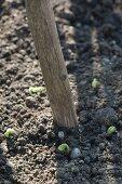 Runner beans (Phaseolus) around beanstalk
