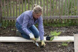 Woman planting fennel (foeniculum)