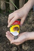 Pouring Helianthus seeds into your hand from bag