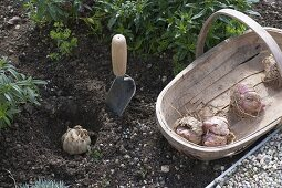 Lilium (lily), plant onions in the bed