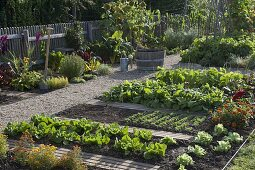 Vegetable garden with beans (Phaseolus), salad (Lactuca)