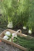 Tuber fennel (Foeniculum) in the flower bed