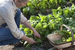 Woman harvesting spinach 'Madator' (Spinacia oleracea) in vegetable patch