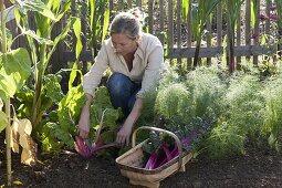 Woman harvesting Swiss chard 'Bright Lights', fennel