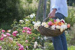 Woman in the garden wears basket of fresh cut pink (rose)