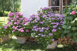 Hydrangea (Hortensien) in grossen Kübeln vor der Hauswand
