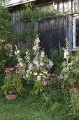 Staudenbeet am Schuppen : Alcea (Stockrosen) und Echinacea purpurea