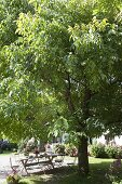 Sitzgruppe unter Walnussbaum (Juglans regia)