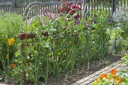Growing sugar pea 'ambrosia' in the organic garden