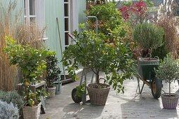 limettenbaum im herbst einwintern bild kaufen living4media. Black Bedroom Furniture Sets. Home Design Ideas