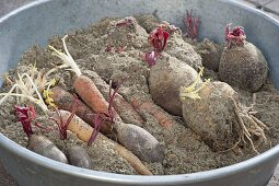 Sandy vegetables begin to drift in spring