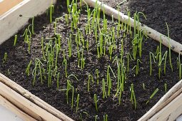 Onion seed freshly risen spring onion seedlings