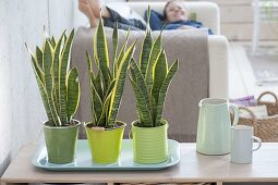 Sansevieria trifasciata 'Laurentii' in green tin pots