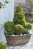Old laundry basket winterly planted with Buxus as balls