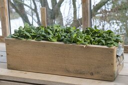 Wooden box with spinach 'Matador' in the cold conservatory