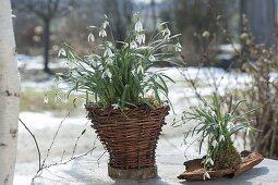 Galanthus nivalis in homemade wicker basket