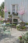 Spring terrace with Prunus triloba (almond tree) in baskets