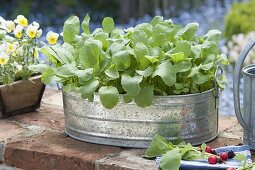 Grow radish in a zinc pan