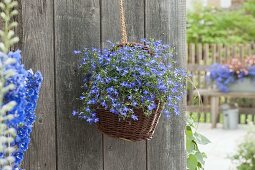 Basket with Lobelia 'Curacao Compact Dark Blue' as hanging basket