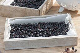 Black berries of aronia-apple-berry to dry