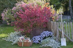 Euonymus alatus (Corkstring spindle shrub) with Aster dumosus