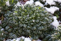 Pak Choi also Pak Choy (Brassica rapa chinensis) in the snow