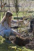 Woman planting Hamamelis intermedia (witch hazel)