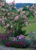Syringa reflexa (lilac), Dianthus (carnation)