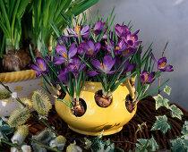 Crocus pot with Crocus tommasinianus