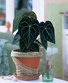 Repot of Anthurium