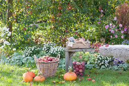 Apple harvest in the garden