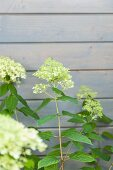 White-flowering viburnum against wooden wall