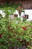 Ripe redcurrants in cottage garden