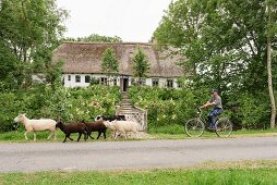 Sheep and cyclist bicycle outside traditional Frisian 17th-century farmhouse