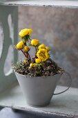 Pot of flowering winter aconites (Eranthis hyemalis)