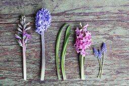 Schnittblumen-Reihe aus Hyazinthen und Traubenhyazinthen