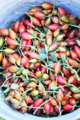 Freshly picked rose hips